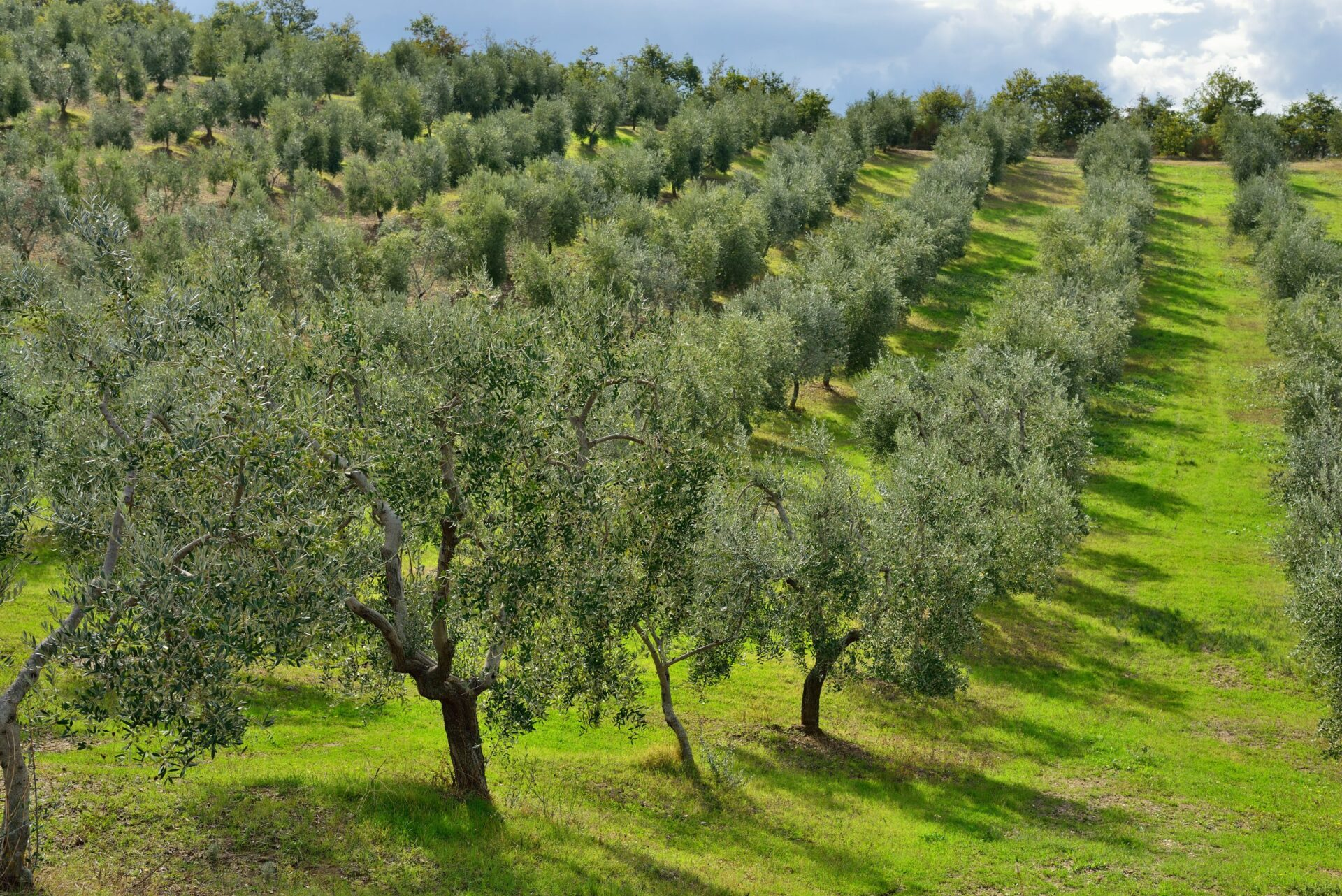 A traditional olive grove