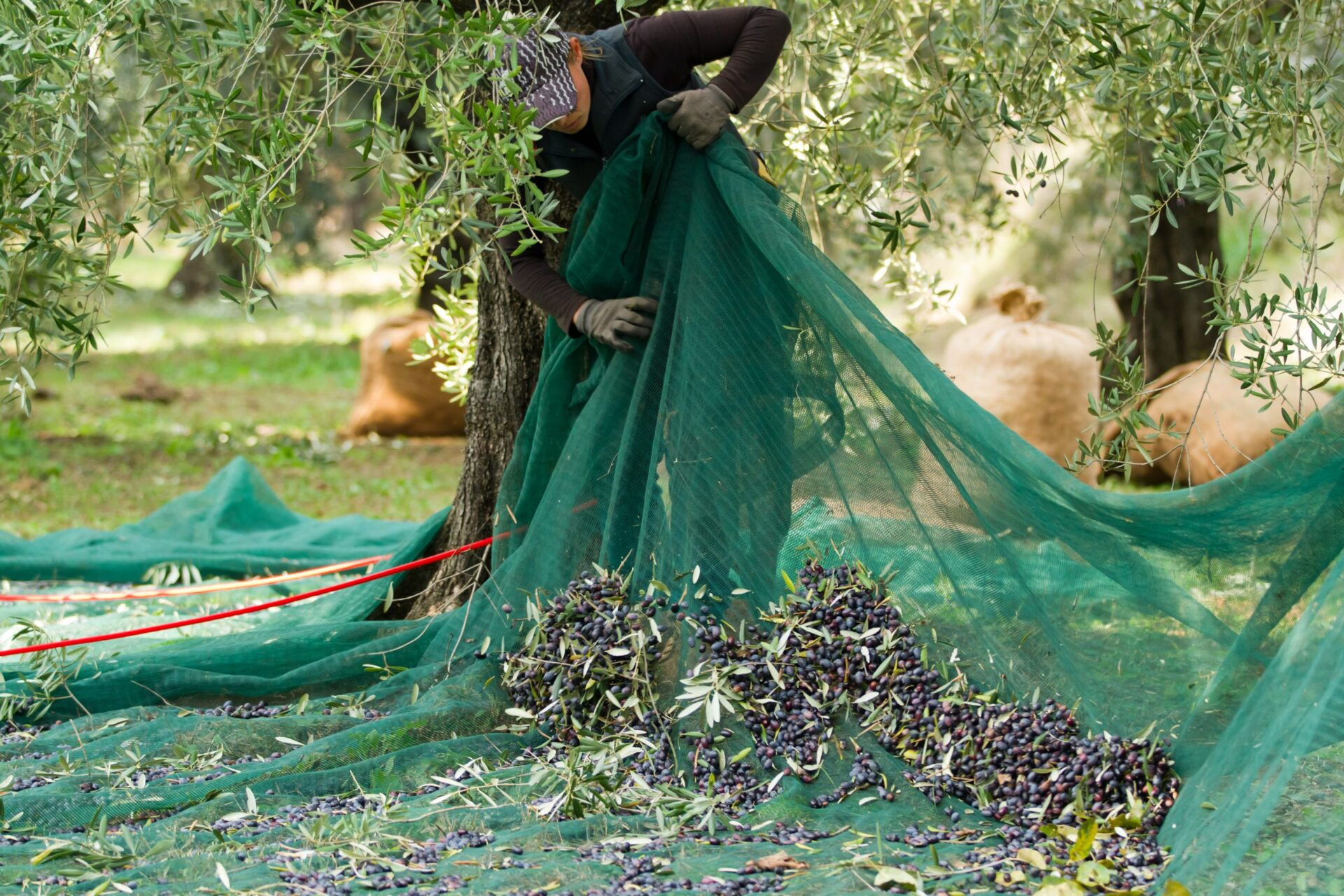A local Farmer harvesting olives by hand with a net